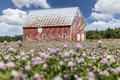 Old red barn field of clover and an in rural prince edward island canada Royalty Free Stock Image