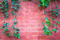 Old red brick wall with ivy climber.