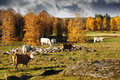 Old rural autumn landscape with grazing cattle in an leaves and colors Royalty Free Stock Image