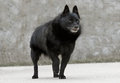 Old Schipperke Dog Royalty Free Stock Photo