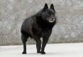Old Schipperke Dog Royalty Free Stock Photo
