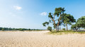 Old scots pine trees growing on a sandy dune dutch landscape in summertime with or pinus sylvestris in the background and hot Royalty Free Stock Photo