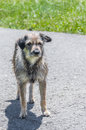 Old shaggy pooch standing on the road Royalty Free Stock Image