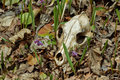 Old skull of a predator. Royalty Free Stock Photo