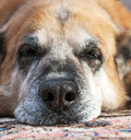 Old sleepy dog closeup Stock Images