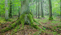 Old spruce tree with big roots Royalty Free Stock Photo