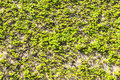 Old stone wall filled with creepers as background Stock Image