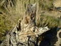 Old Stump of fallen tree in a field among the grass Royalty Free Stock Photo