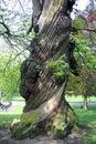Old sweet chestnut Castanea sativa tree Royalty Free Stock Photo