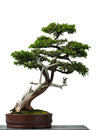 Old temple juniper as bonsai tree Stock Photos