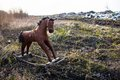Old thrown away rocking horse threadbare to the dump in the field Stock Images