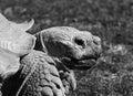 Old Aldabran Tortoise