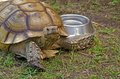 Old tortoise with water bowl Royalty Free Stock Photo