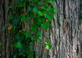 Old tree bark Stock Images