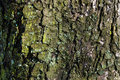 The old tree bark with light green moss.