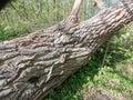 Old tree bark texture Royalty Free Stock Photo