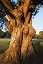 Old tree with big trunk Royalty Free Stock Photography
