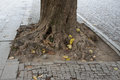 Old tree in the bricks. Lonely tree in city. The roots of this tree sprawls along the surface of the sidewalk