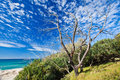 Old tree on Cabarita beach Royalty Free Stock Photo