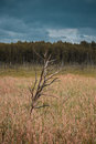 Old tree in the field and forest in the background. Cloudy. Blues sky. Nature of Latvia Royalty Free Stock Photo