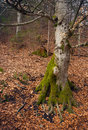 Old tree in forest mossy the autumn Royalty Free Stock Image