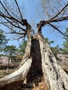 Hollow old tree Royalty Free Stock Photo