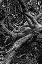 Old tree with huge maze of branches fallen to the ground at mountain forest Royalty Free Stock Photo