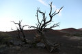 Old tree on moana kea volcano hawaii an dead the slopes of Royalty Free Stock Image