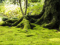 Old tree with moss roots covered in green Stock Image