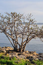 Old tree over the sea view from a shoreline of an and islands on horizon Stock Photos