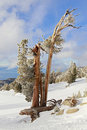 Old Tree on Ski Slopes in Lake Tahoe Royalty Free Stock Photo