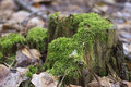 Old tree stump with green moss in spring forest. Natural background. Royalty Free Stock Photo