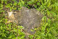 Old a tree stump with growth rings in the flowers clover and gre Royalty Free Stock Photo