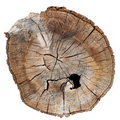 Old tree stump isolated on white background Royalty Free Stock Images