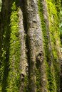 Old tree trunk covered with moss in the forest Royalty Free Stock Photo