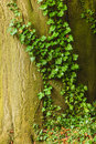 Old Tree Trunk With Green Ivy