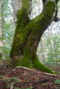 Old tree very in the national park biogradska gora Royalty Free Stock Photos