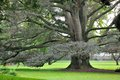 Old tree with wide branches Royalty Free Stock Image