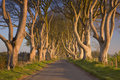 Old trees at the Dark Hedges in Northern Ireland Royalty Free Stock Photo
