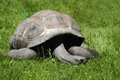 Old turtle in the green grass Royalty Free Stock Photo