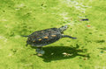 Old turtle swim on water single canal Royalty Free Stock Images