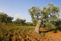 Old twisted olive tree Royalty Free Stock Photos