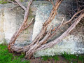 Old and twisted tree trunk with stringy bark in front of aged concrete fortifications Stock Photos