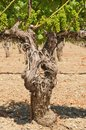 Old Vines Royalty Free Stock Photo