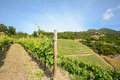 Old vineyard in the tuscany winegrowing area, Italy Royalty Free Stock Photo