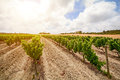 Old vineyards with red wine grapes in the Alentejo wine region near Evora, Portugal Royalty Free Stock Photo