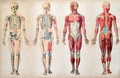 Old vintage anatomy charts of the human body showing skeletal system and various muscles four figures in a row in different Royalty Free Stock Photography