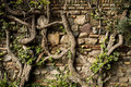 Old wall with vines Royalty Free Stock Photo