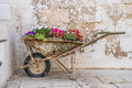 Old wheelbarrow with flowers rusted filled nice Royalty Free Stock Images