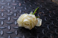 Old White Rose on The Black diamond plate steel Royalty Free Stock Photo